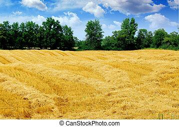 cosechado, grano, campo
