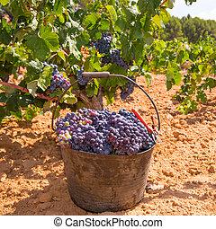 cosechar, vino, cosecha, uvas, bobal