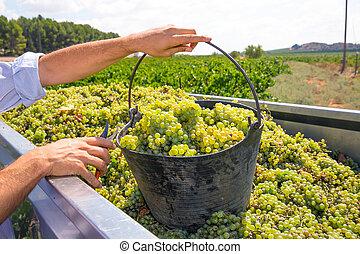 cosechar, vino, cosecha, uvas, chardonnay