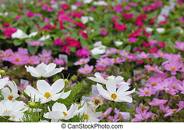 Cosmos - Beautiful array of colorful cosmos at the nursery