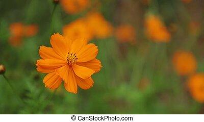 Cosmos Bipannatus Flowers Daisy Family Stock Footage -...