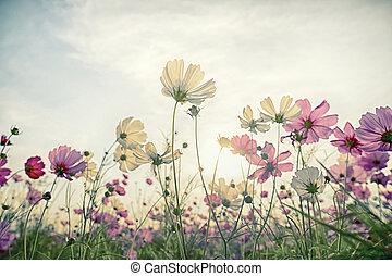 cosmos bloem, in, de, akker, met, ouderwetse , blauwe hemel, achtergrond