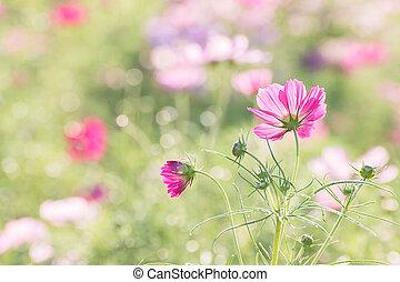 cosmos blommar, in, fält