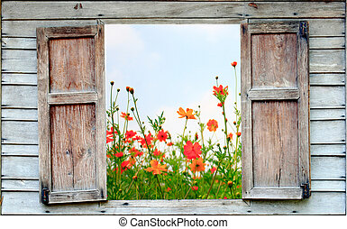 cosmos blommar, och, gammal, ved, fönster