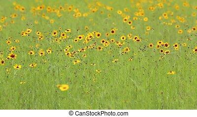 cosmos, fleurs
