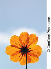 cosmos flower against blue sky