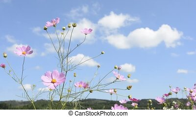 Cosmos flower and clouds