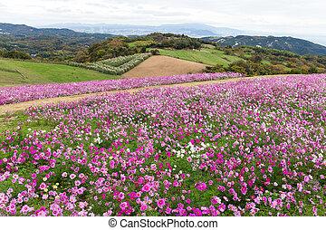 Cosmos flower farm