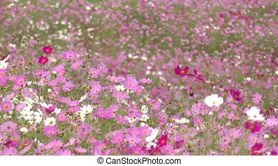 Cosmos flower field - Ground covered pink and white cosmos...