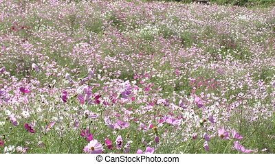 Cosmos flower field - Paved pink and white cosmos flower...