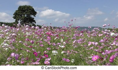Cosmos flower field - Pink and white cosmos flower field in...