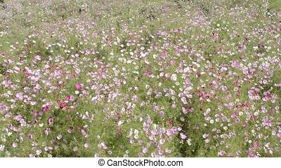 Cosmos flower field swaying in the wind