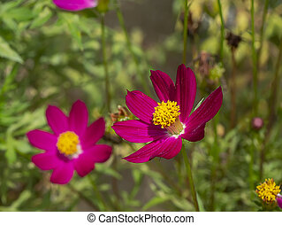 Cosmos flower in field with blur background