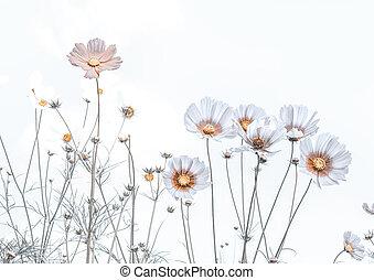 Cosmos flower in the garden on white background ,dark pastel tone