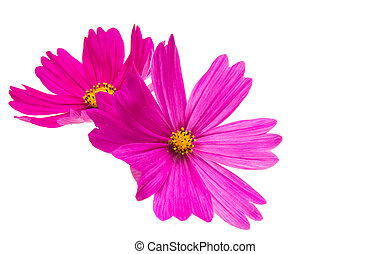Cosmos flower isolated