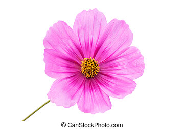 Cosmos flower on isolated background