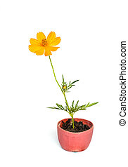 Cosmos flower stalk in small pot on white