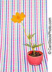 Cosmos flower stalk stick to soil in small flower pot on colorfu