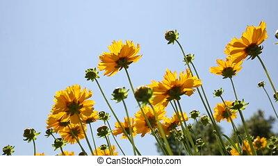 Cosmos flower swaying in the wind - Cosmos flower field...