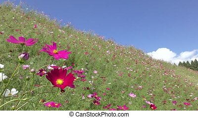 Deep pink cosmos flower with bee in front of flower field under sky