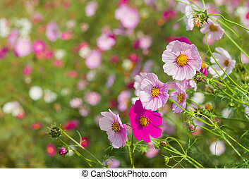 Cosmos flowers at summer sunny day.