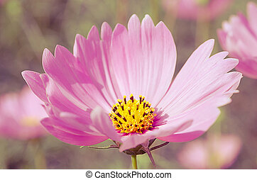 Cosmos flowers background in vintage style3