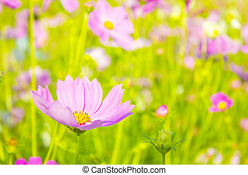 Cosmos flowers blooming in the garden, Cosmos flower field with blurred background for copy space