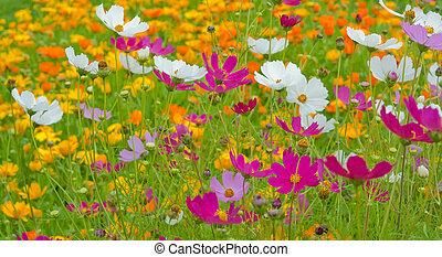 Cosmos flowers close up on flowers background