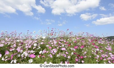 Cosmos flowers field and clouds