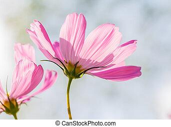 Cosmos flowers in garden