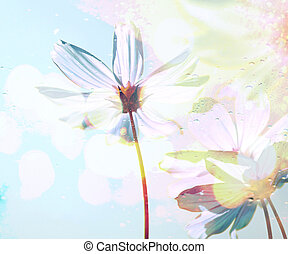Cosmos flowers in the drops rain under glass with spring and blue sky soft blur background