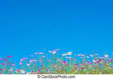 Cosmos flowers in the garden on blue sky