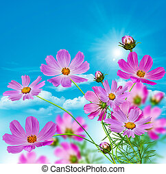 Cosmos flowers on a background of blue sky with clouds