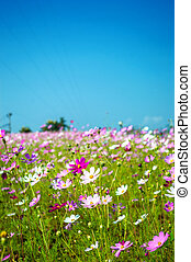 Cosmos flowers pink and white in the garden on blue sky background