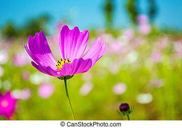 Cosmos flowers pink