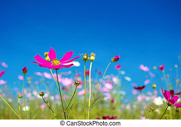 Cosmos flowers pink in the garden on blue sky background