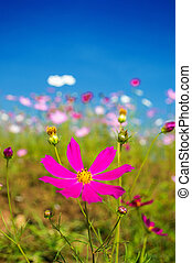 Cosmos flowers pink in the garden on blue sky