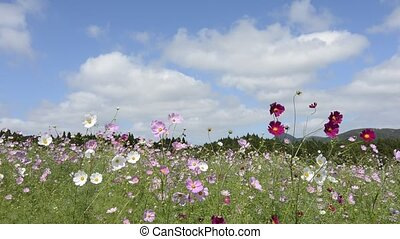 Cosmos flowers - Pink and white cosmos flowers swaying in...