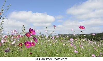 Cosmos flowers - Pink cosmos flowers swaying in wind under...