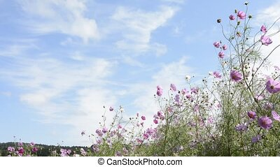 Cosmos flowers swaying in the wind under sky