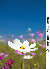 Cosmos flowers white in the garden on blue sky background