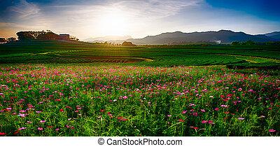 cosmos garden sunset chiang rai thailand
