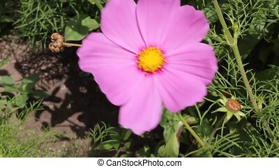 Cosmos has a different color. Garden flower.
