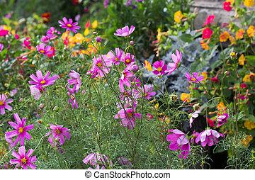 Cosmos plants (Cosmos bipinnatus)  - beautiful summer plants in the bee-friendly cottage garden