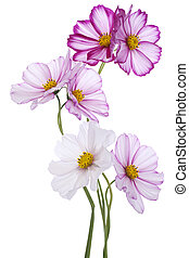 cosmos - Studio Shot of Fuchsia Colored Cosmos Flowers...