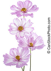 Studio Shot of Lilac Colored Cosmos Flowers Isolated on White Background. Large Depth of Field (DOF). Macro.