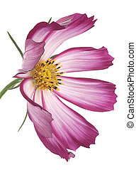 cosmos - Studio Shot of Magenta and White Colored Cosmos...