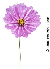 cosmos - Studio Shot of Magenta Colored Cosmos Flower ...