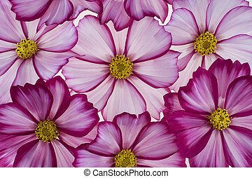cosmos - Studio Shot of Magenta Colored Cosmos Flowers...