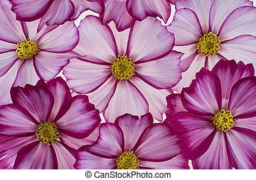cosmos - Studio Shot of Magenta Colored Cosmos Flowers ...